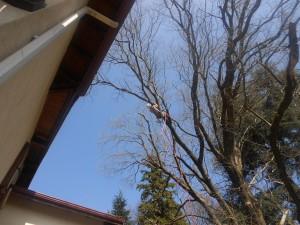 Travaux sur cordes pour la taille raisonnée d'un acacia